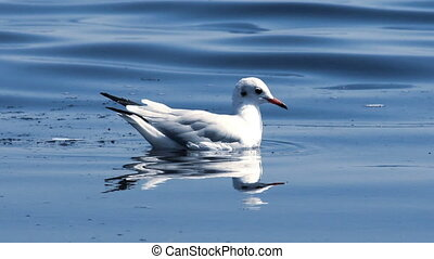 gull at the sea - close-up of one adult gull swimming at the...