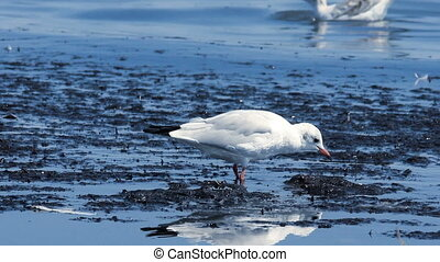 gull at the sea - close-up of one preaning adult gull at the...
