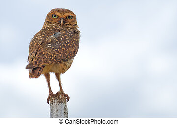 Burrowing Owl - Burrowing owl on a fence post Athene...