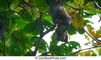 Flying foxes hanging on a tree branch and washing up - Two...