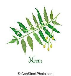 Neem or nimtree. medicinal plant, twig, flowers and berries...
