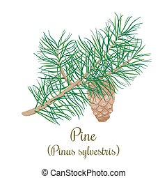 Pine tree twig with a cone. Green Branch of Pinus...