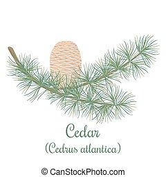 Cedar tree or Cedrus atlantica - Cedar tree twig with a...