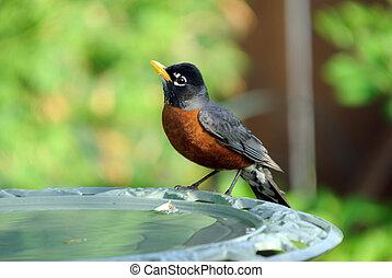 American Robin on the side of a bird bath