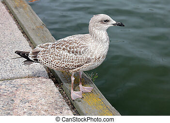 Juvenile Gull on a Pier - Side view of Juvenile European...