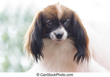 Continental toy spaniel Falen Dog. Space under the text....