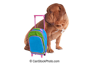 Dog with travel bag - Big dogue de bordeaux is ready to go...