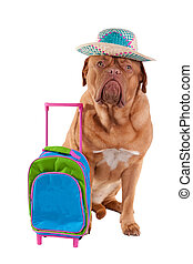 Dog with hat and travel bag - Cute dogue de bordeaux is...