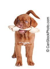 Puppy eating a bone - Puppy of dogue de bordeaux with a...