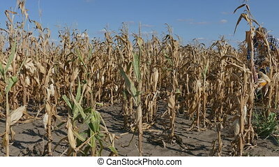 Farmer examining corn plant in field - Farmer or agronomist...