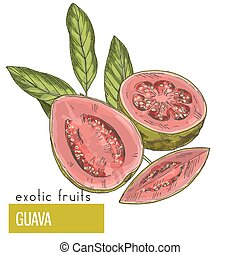 Guava, fruit with leaves. Exotic fruits, hand drawn vector...
