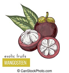 Mangosteen with leaves. Exotic fruits, hand drawn vector...