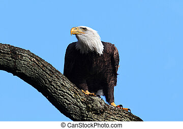 Bald Eagle (haliaeetus leucocephalus) - Adult Bald Eagle...