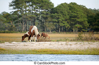 assateague wild ponies - small group of wild assateague...