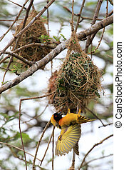 Yellow Weaver Bird - Wildlife Sanctuary - Uganda - Yellow...