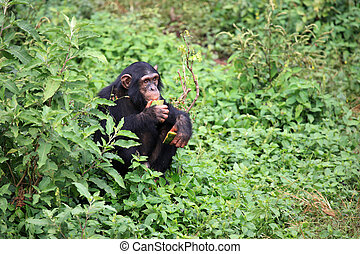 Chimpanzee - Uganda - Chimpanzee Sanctuary, Game Reserve -...
