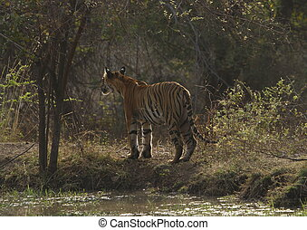 standing tiger near pond - tiger standing backwards at the...
