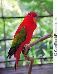 Chattering Lory on a bough