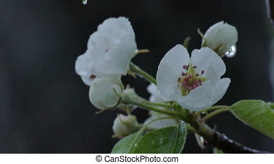 Wet Snow Falling On The Pear Tree Bloom, Close Up -...
