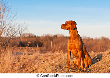 Sitting Vizsla Dog in the Spring - A portrait of a sitting...