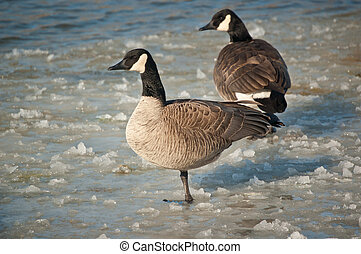 Canada Geese Standing on a Frozen Pond - A pair of Canada...