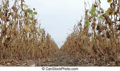 Soy bean plant in field - Closeup of soy bean plant in field...