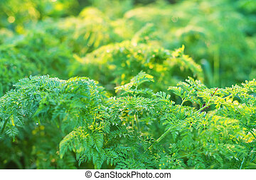 Cow Parsley or Anthriscus sylvestris in warm light - Close...