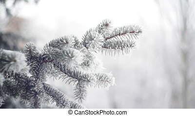 snow-covered fir in a winter park close-up.