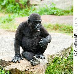 cute baby gorilla - close-up of a cute baby gorilla