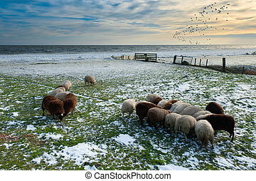 sheep in winter in Warder, Markermeer, The Netherlands