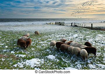 schafe,  Winter