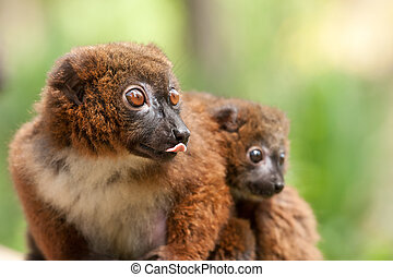 Cute Red-bellied Lemur with baby Eulemur rubriventer