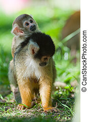 cute squirrel monkey with baby Saimiri subfamily:...