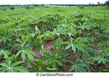 Manioc plantation on parana state, southern brazil. Typical...