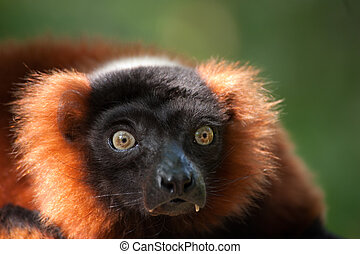 Beautiful red ruffed lemur Varecia rubra