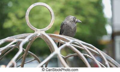 Gray crow sits on cage on the street - Close-up of crow sits...