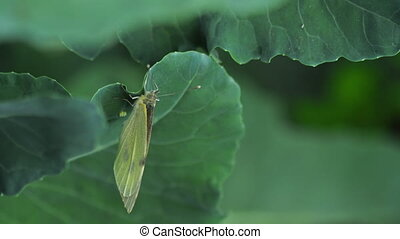 Butterfly laying eggs on green leaf - Pieris brassicae...