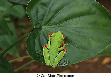 Red Eyed Tree Frog or Green Tree Frog - red eyed tree frog...