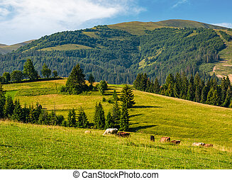 cows grazing near conifer forest in mountains. lovely rural...