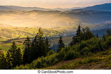 spruce forest on hills at foggy sunrise. gorgeous...