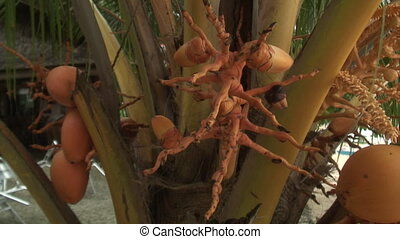 Exotic tropical fruit on tree in Philippines. Fresh food for...