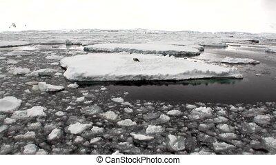 Seals on ice floe snow in ocean of Antarctica. Amazing...