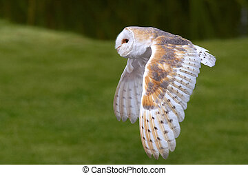 Barn Owl in flight in front of a dark bush