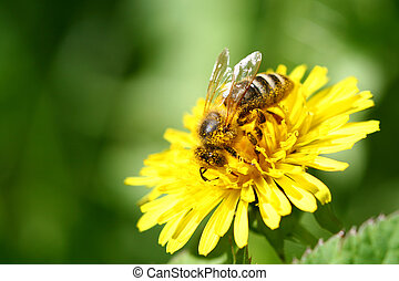 bee - macro bee on yellow dandelion flower