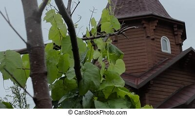 Young grape vine green leaves in the wind on a rainy day and...