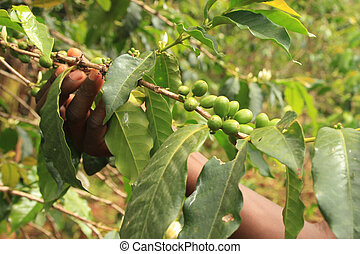 Coffee Plant - Uganda, Africa - Coffee Plant in Uganda - The...