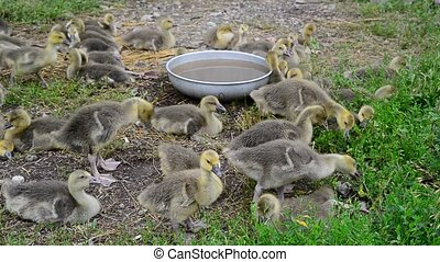 Many goose in yard near the drinker - Many goose in the yard...