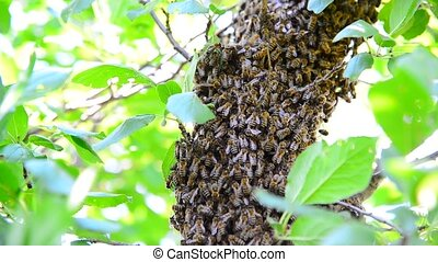 The bee swarm on plum tree - The bee swarm on the plum tree