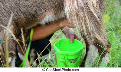 woman milking a goat in the open air. Russia - A woman...