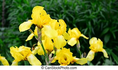 Yellow iris on flower bed closeup - Yellow iris on a flower...